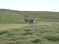 reindeer-in-iceland