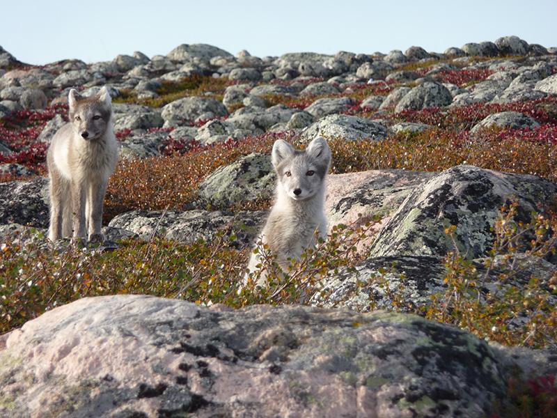 arctic-fox-pups