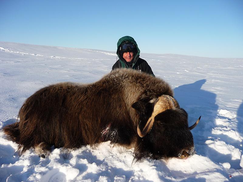barren-ground-musk-ox